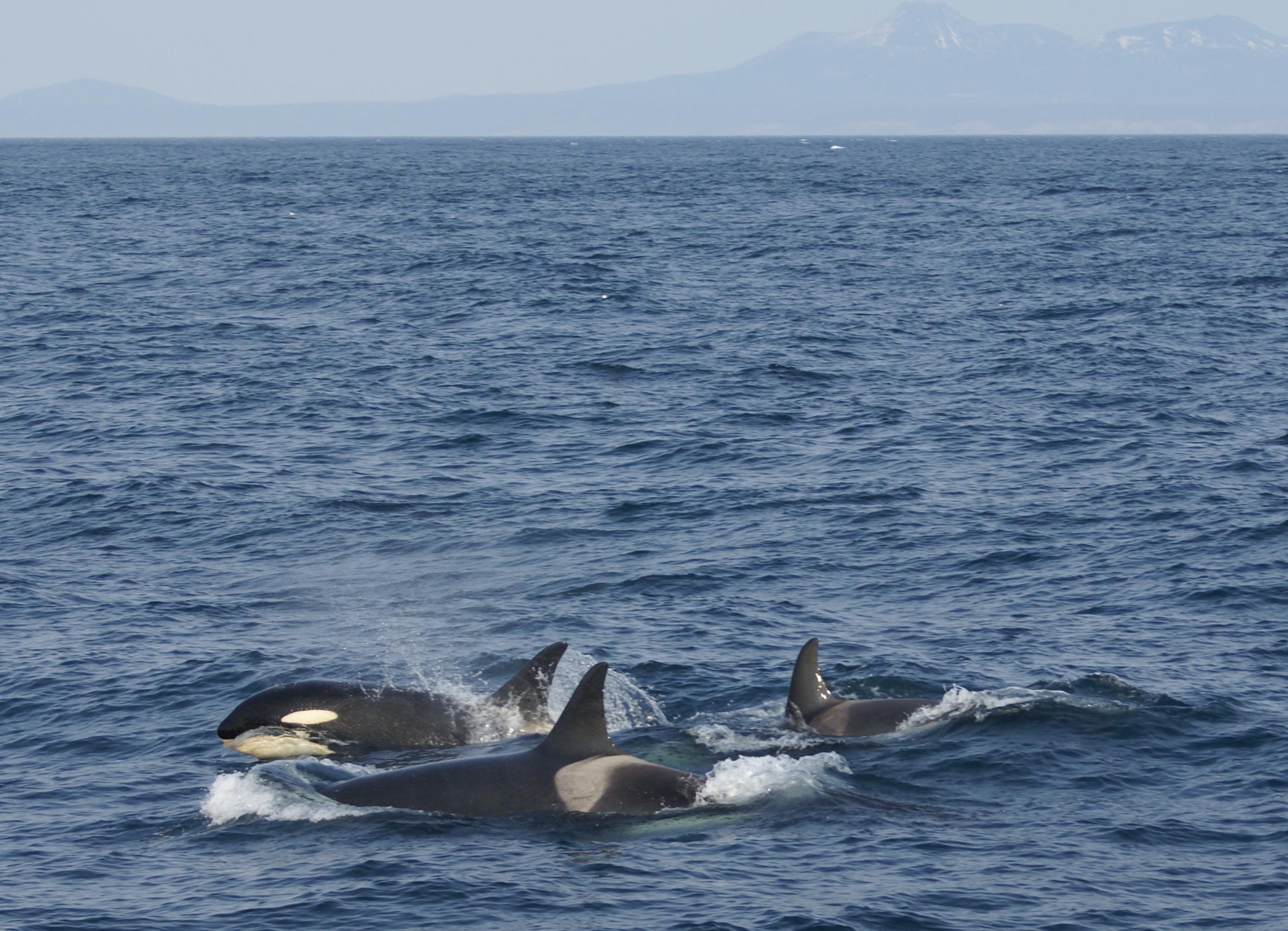 090508_orcas.jpg