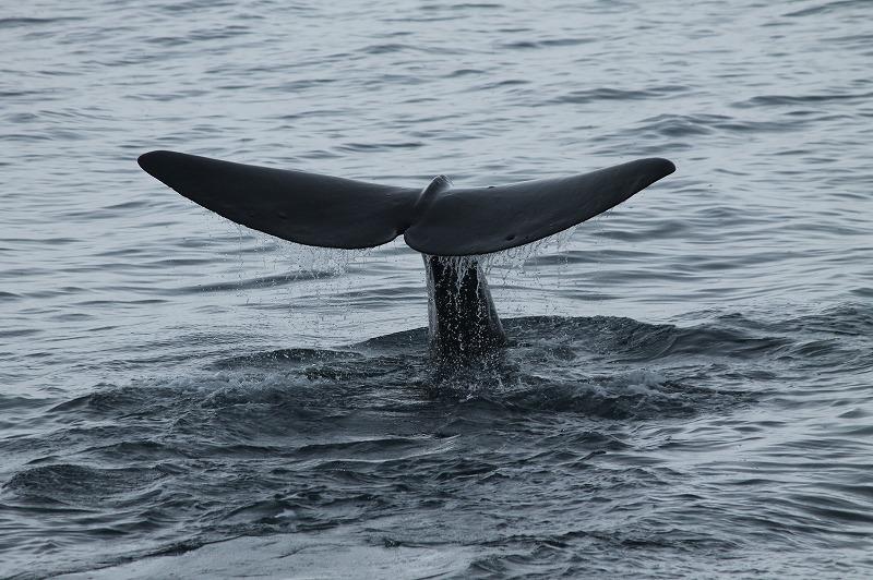 観光船はまなすから見た潜水直前のマッコウクジラ